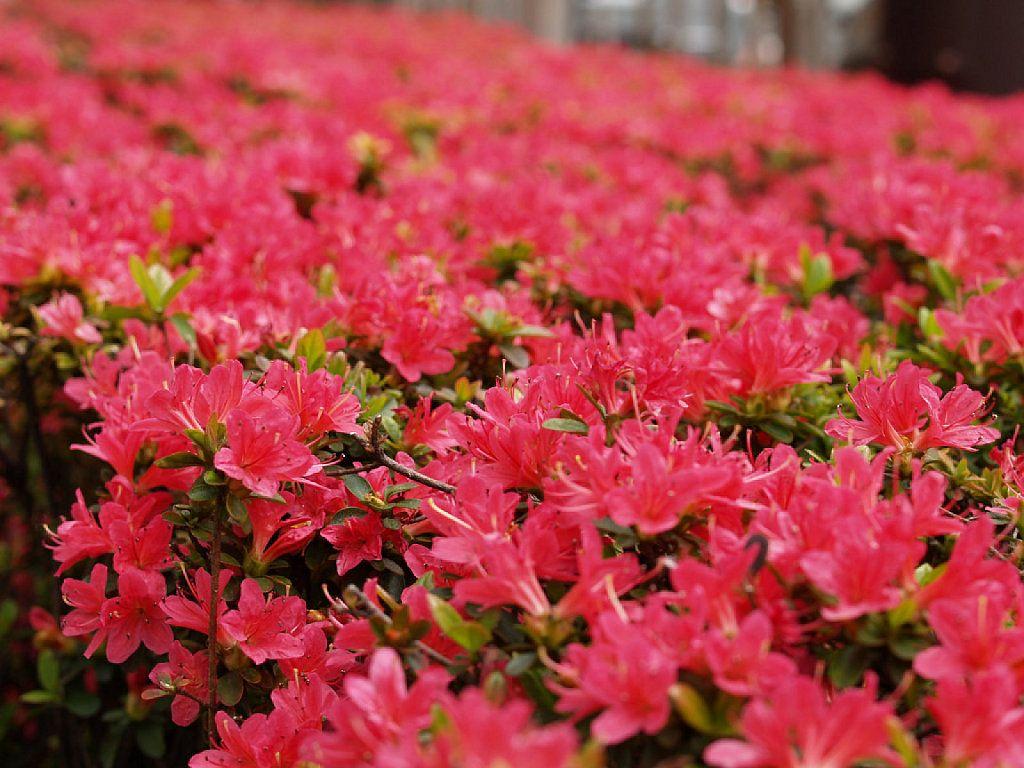 azalea planta llena de color para el jardn ms bello plantas de exteriorlas