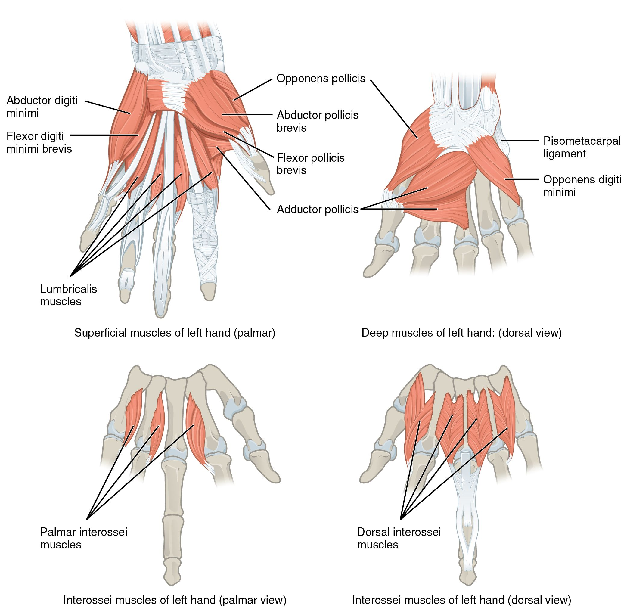 Carpus bones pinterest coloring muscle and hand anatomy - Muscles Of The Hand Intrinsic Muscles Of The Hand With The Major