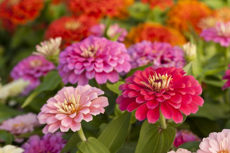 Planting And Growing Zinnia Seeds Planting Flowers Annual