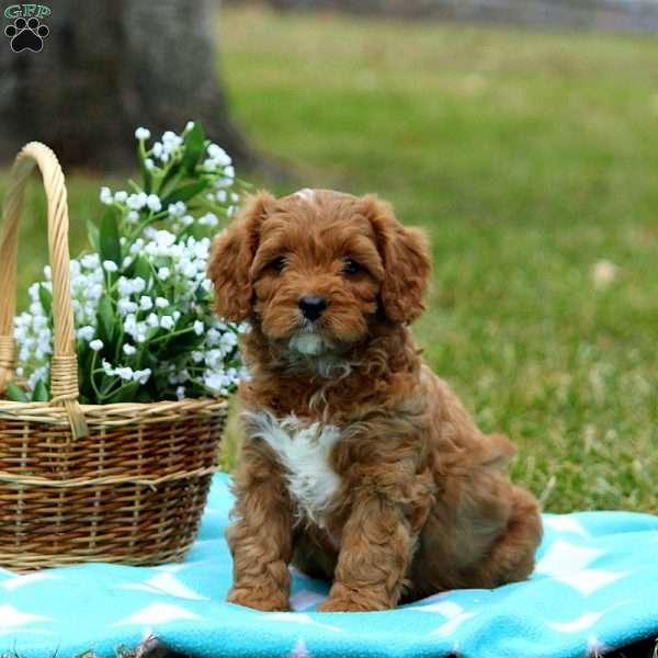 Cavapoo Teacip Google Search In 2020 Cavapoo Puppies Cavapoo Puppies For Sale Cavapoo