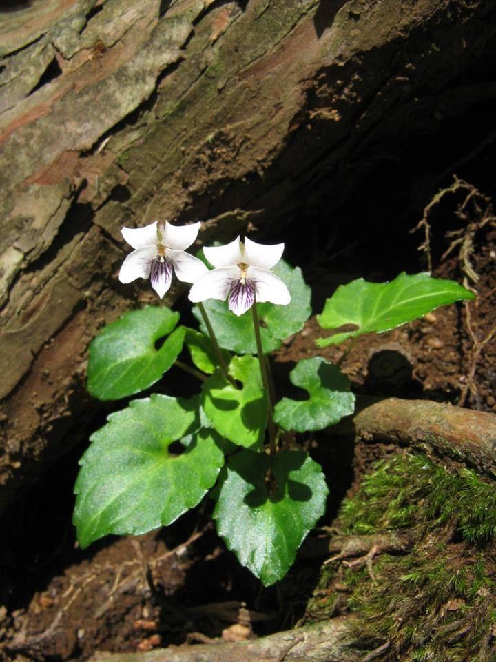 Viola Sieboldi Ssp Boissieuana Nature Plants Annual Plants