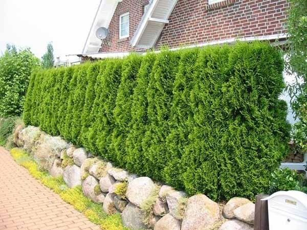 green fence hedge climbing plants trees shrubs ideas natural stone - outdoor küche mauern