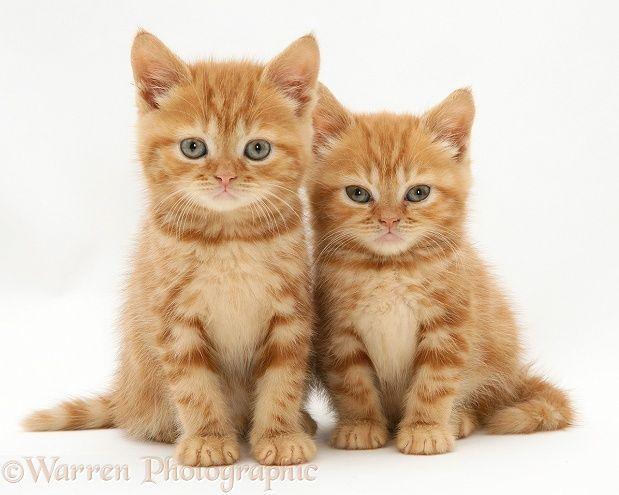 Red Tabby British Shorthair Kittens Schonen Katzen Bezaubernde Katzchen Susseste Haustiere