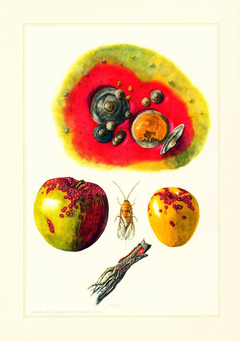 1960 Pou de San José. Cochenille. Parasites. Illustration Insecte. Agronomie Planche Identification Originale Entomologie. de la boutique sofrenchvintage sur Etsy