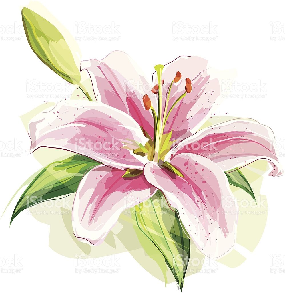 Illustration of a pink lily. Flower and the shadow are