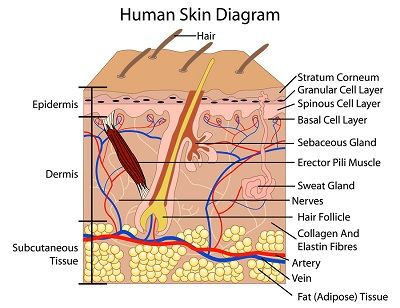 Diagram of the Human Skin Layers | Anatomy | Pinterest ...