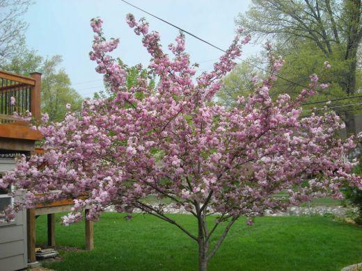 Stella Cherry Tree Cherry Tree Tree Fruit Trees