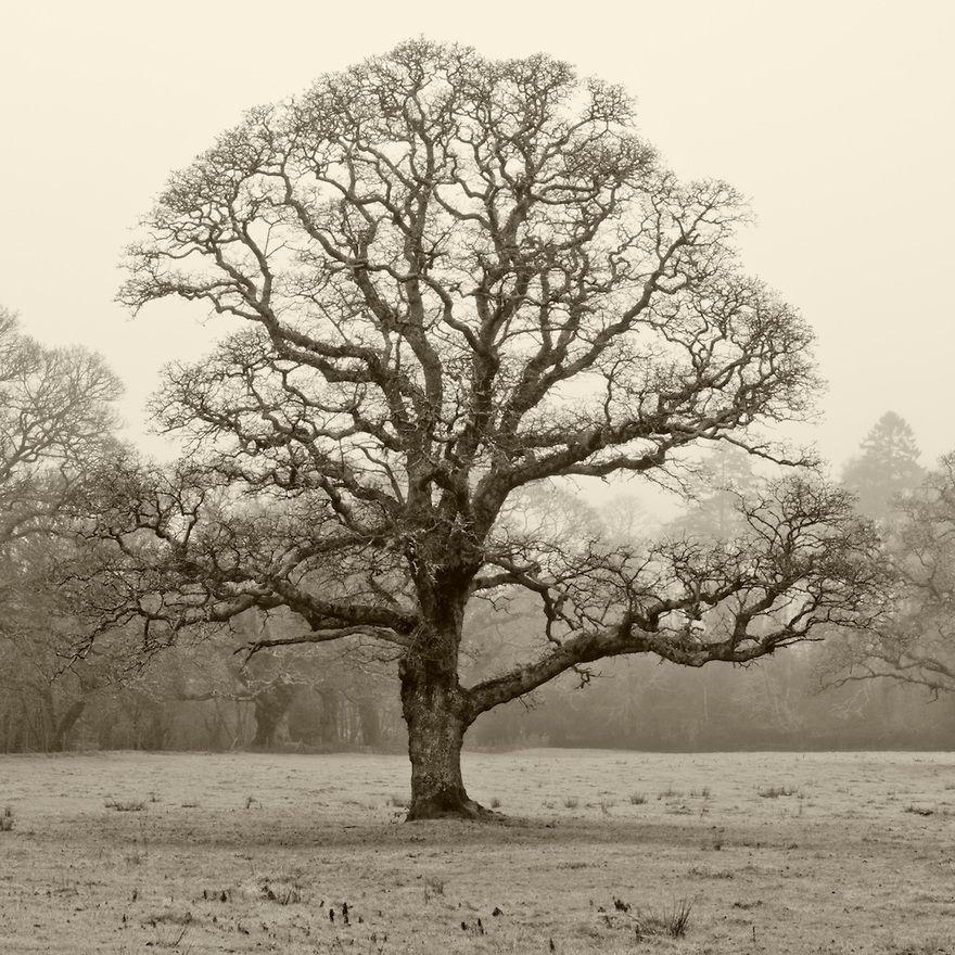 oak tree in winter Gallery