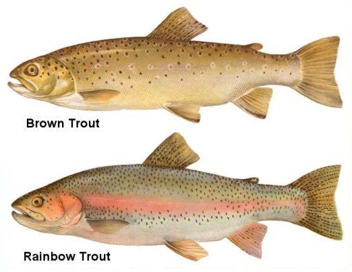 Brown Trout And Rainbow Trout Fish Rainbow Trout Picture