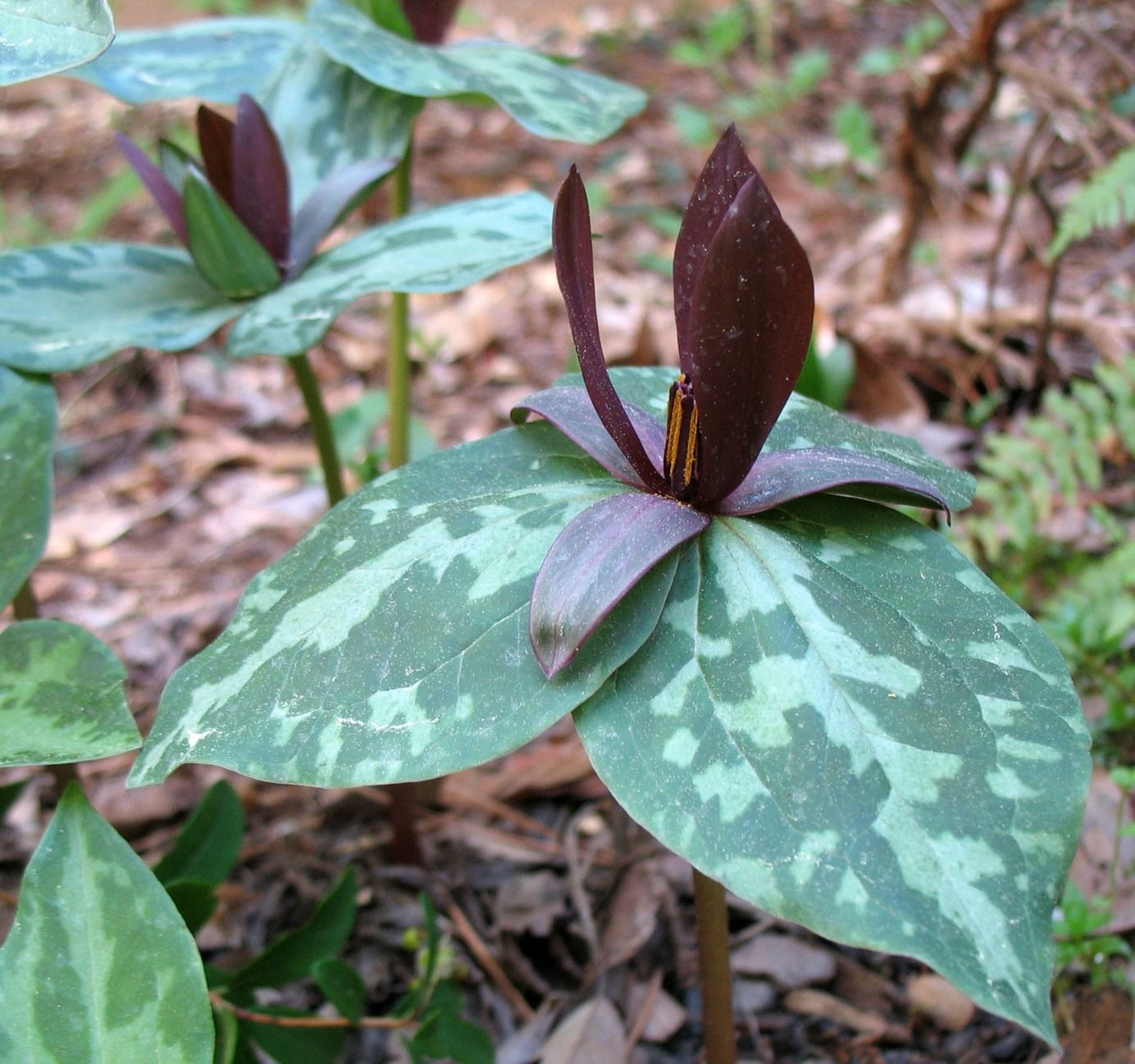 Using Native Plants Gardening Trillium