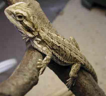Baby bearded dragon lizard