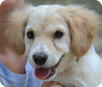 Adopted Stamford Ct Golden Retriever Cocker Spaniel Mix Meet Rose A Puppy For Adop Golden Retriever Puppy Adoption Golden Retriever Cocker Spaniel Mix