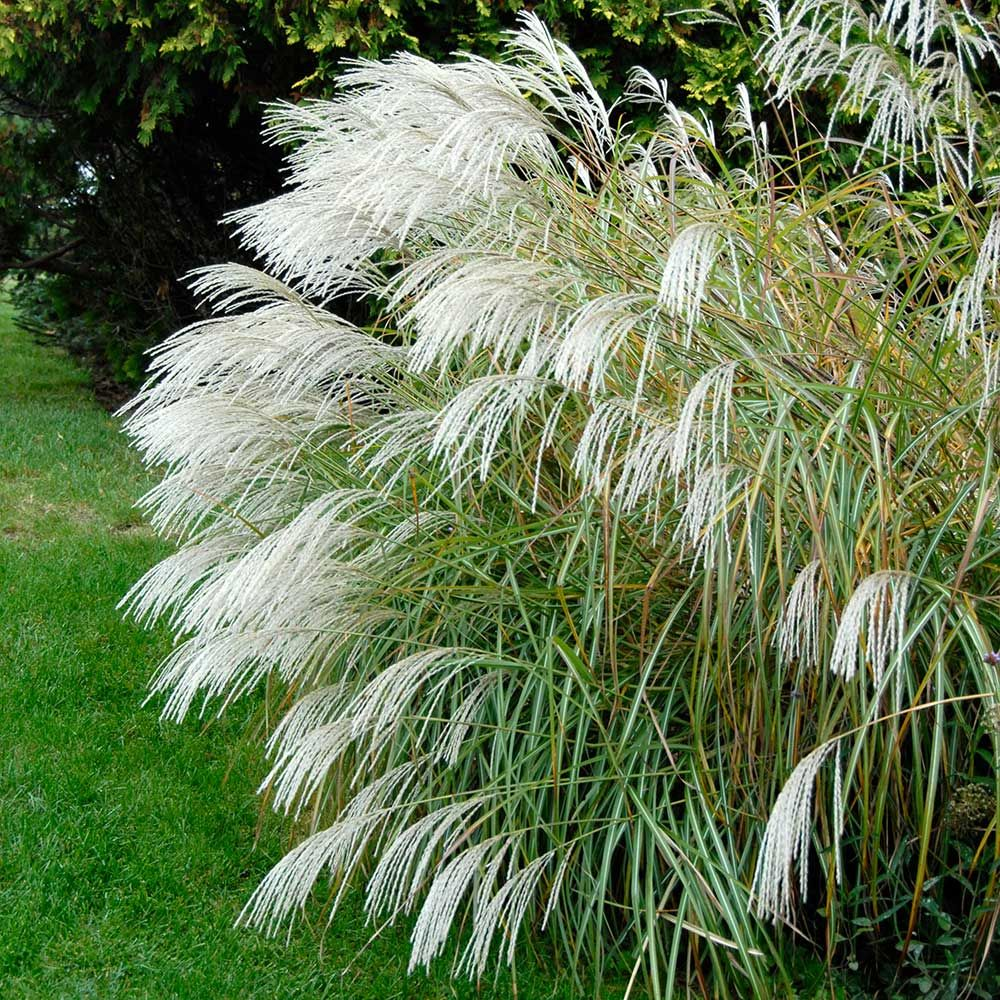 Ornamental Grass Miscanthus Sinensis Silver Feather Ornamental Grasses Evergreen Landscape Grasses Landscaping