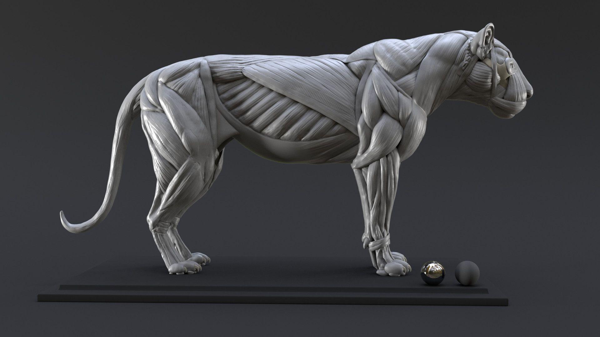 ArtStation - Lion Study n°1 : Muscles, Nicolas MOREL | Tutorials and ...