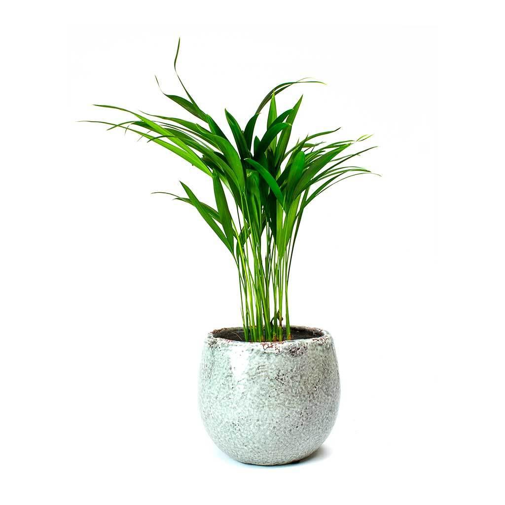 Chrysalidocarpus lutescens Areca Palm (With images