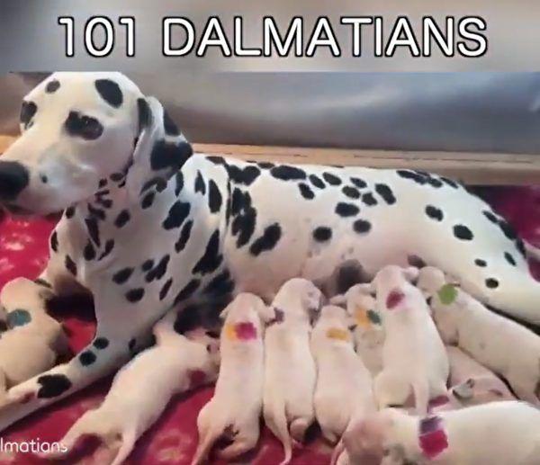 3歲斑點狗開始生產 主人意識到獸醫犯了一個錯誤 | 狗寶寶 | 大紀元