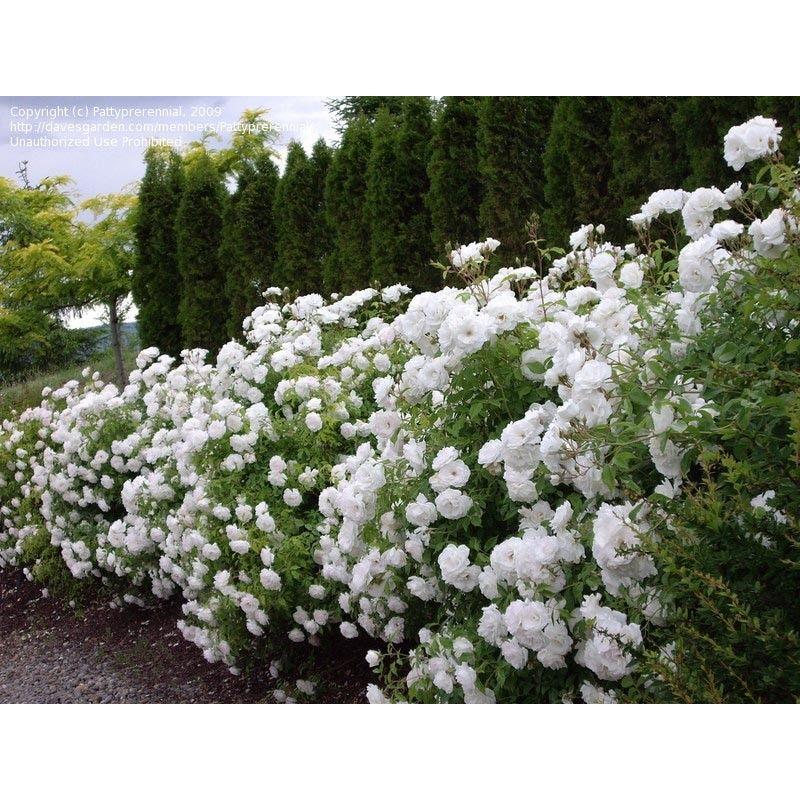 Rosa Iceberg Shrub Roses Hedge Screen Boething Treeland