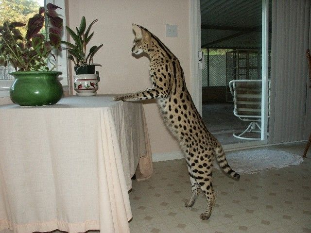 Now That Is A Cat Savannah Cat Bengal Cat Full Grown Savannah Chat