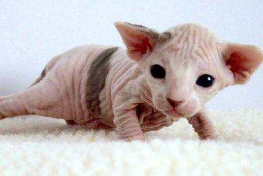 Newborn Hairless Kitten Hairless Kitten Hairless Cat Cute Animals