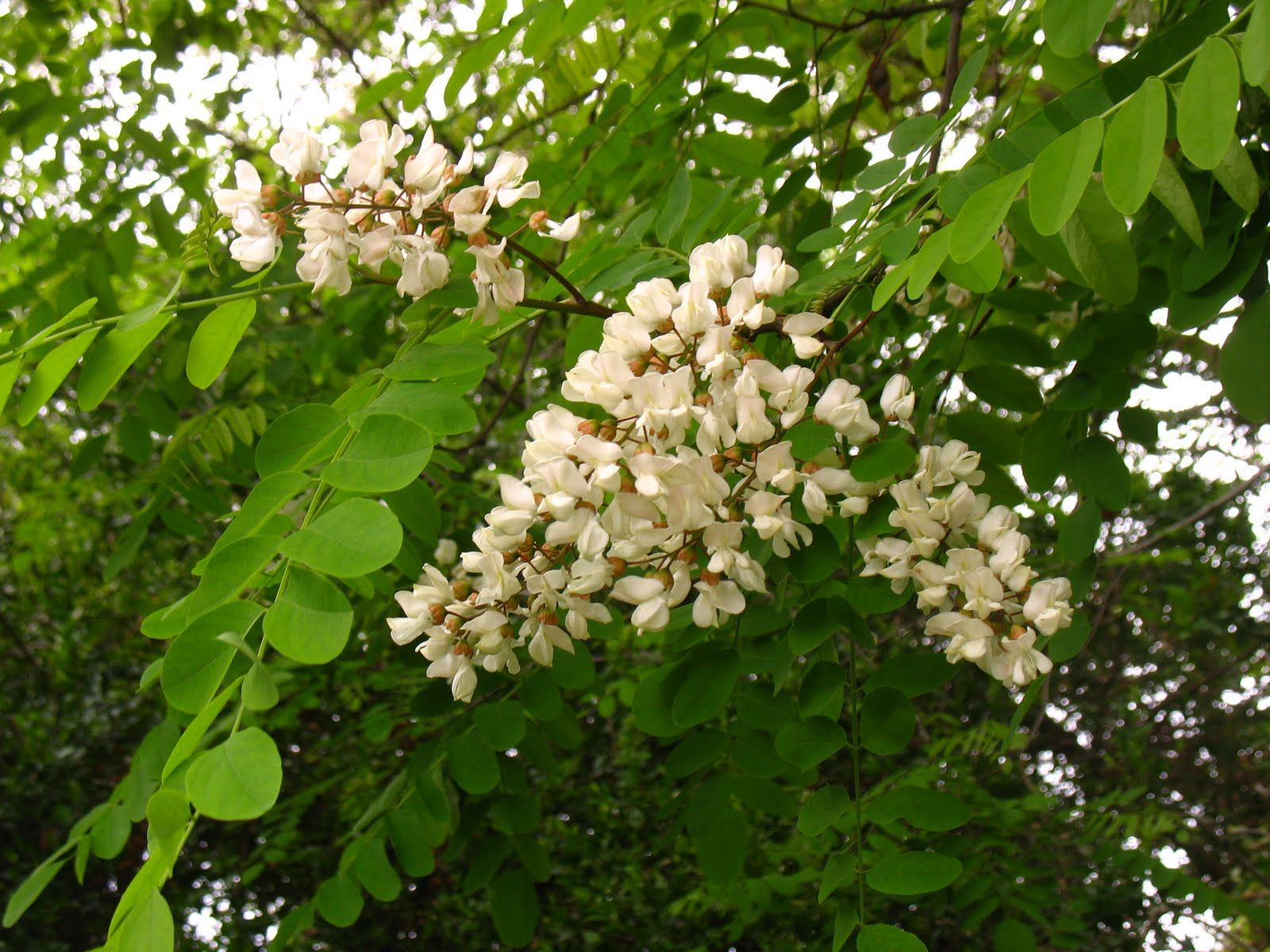 Flowering Trees Identification Tree Identification Robinia