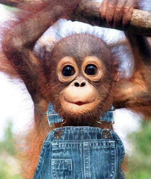 A happy orangutan, ...oblivious to mankinds attempt to make them extinct,...