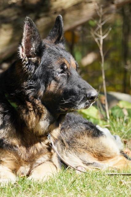 Adopt Kaizer On Shepherd Dog German Shepherd Dogs German