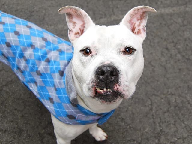 Safe 7 2 2015 By Hudson Valley Animal Rescue And Sanctuary Super Urgent 01 30 15 Manhattan Center My Name Is Lucky My An My Animal Pitbull Mix Animals