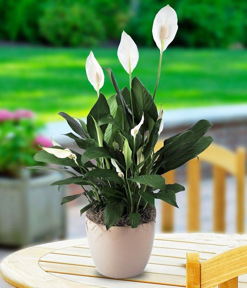 Peace Lily Prefers Medium Indirect Sunlight Yellow Leaves Indicate The Peace Lily Is Getting Too Much Light Brown Plants Growing Plants Indoors Cool Plants