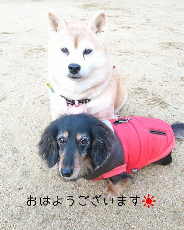 H30.01.20 おはようございます☀️ 今朝は、いい天気の朝ん歩です😆🎵🎵 . 気持ちよく、いっぱい散歩して帰ります~🙌 . 皆さんも良い1日を➰👋😃 . . #朝ん歩 #愛犬に癒される毎日 #犬#いぬ#dog #dogstagram#いぬバカ部  #犬との暮らし  #犬がいないと生きていけない  #ふあもこ部#柴犬とダックス  #柴犬#Shiba#赤柴#shibastagram #しば#しばいぬ#柴犬マニア 赤柴 #ダックス#だっくす #ミニチュアダックスフンド #ブラックタンダックス#minituredacksfund#dacksfundlove #多頭飼い#愛犬#愛犬家#pecoいぬ部 #シニア犬#2006年生まれの会