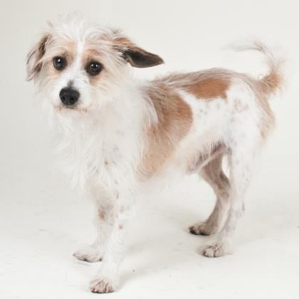 Dogs Terrier Mix Adoption Terrier
