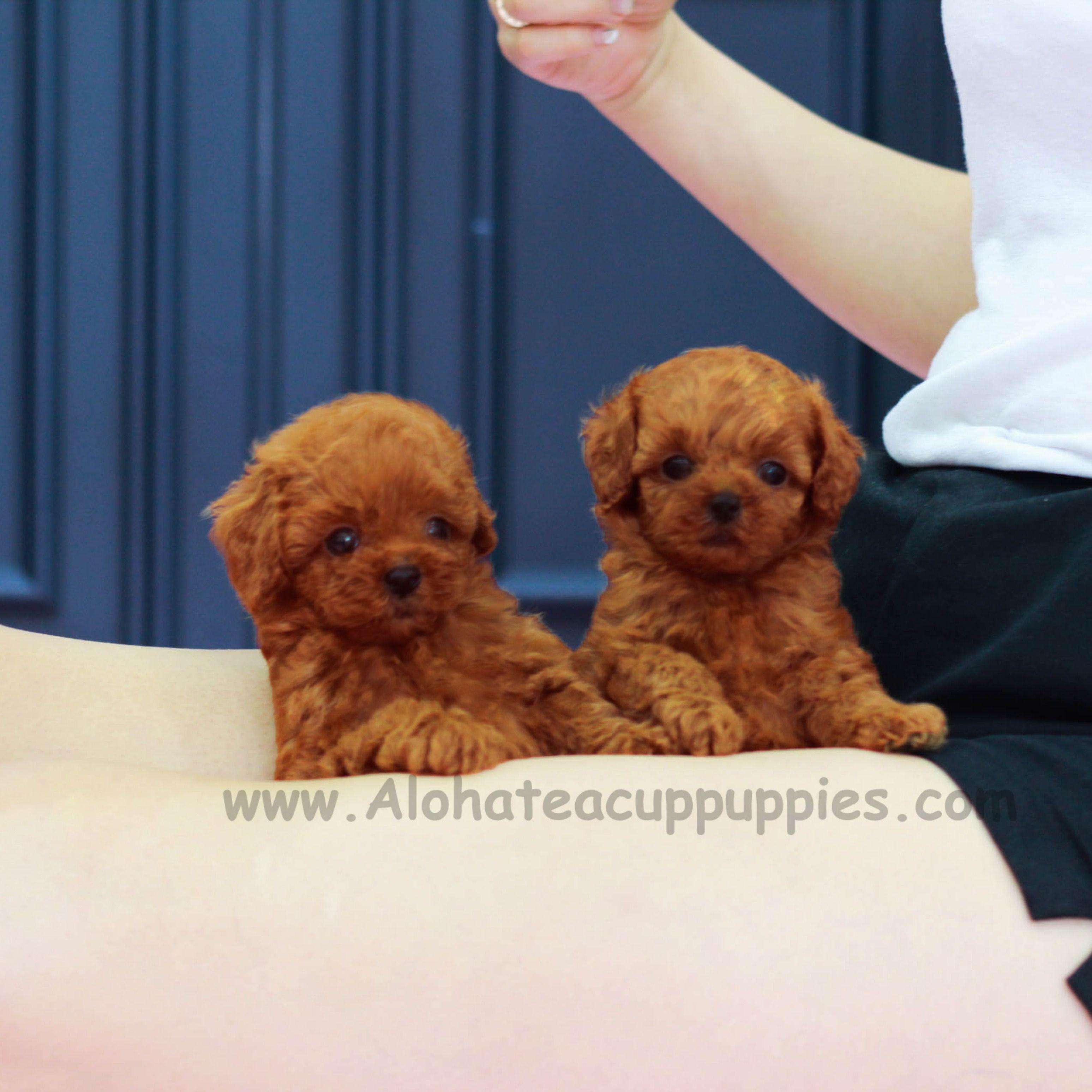 Sooo Cutie Twins Https Www Alohateacuppuppies Com