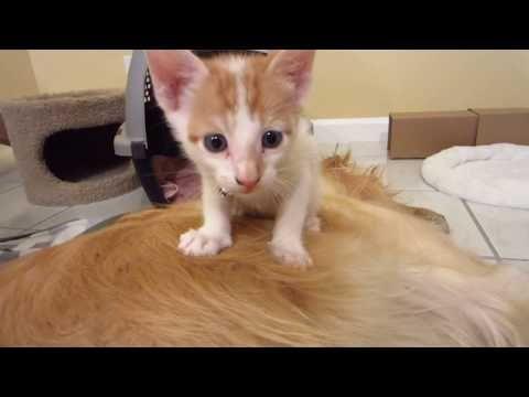 915 Silly Kitten Climbing Up Sleeping Dog S Back Jumps Off 4 Weeks Old Youtube Sleeping Dogs Kittens Sleepy Dogs