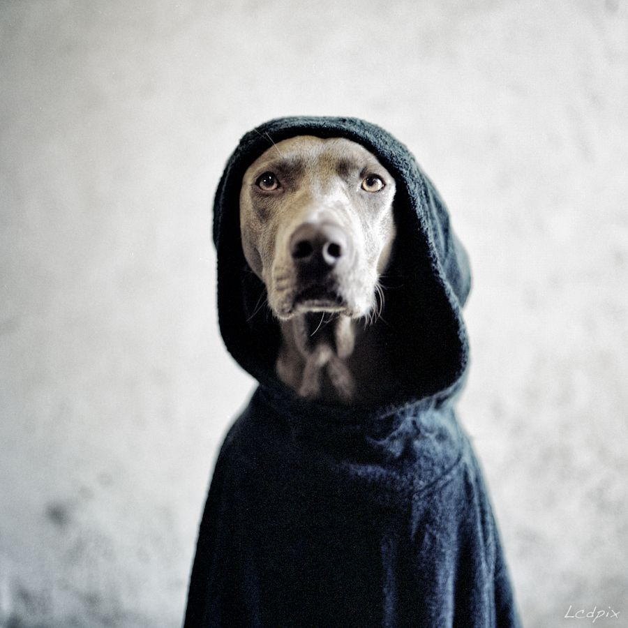 Can't get enough of these pics by William Wegman, here's Snoop Dogg, the stylish version :)