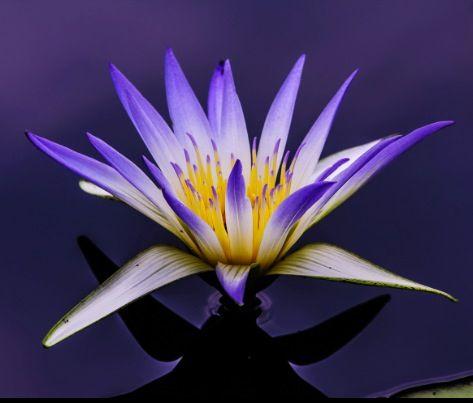 Egyptian blue lotus tattoo pinterest egyptian lotus and tattoo egyptian lotus by louis dallara mightylinksfo