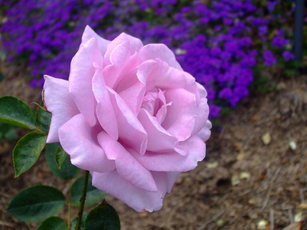 Purple Wikipedia The Free Encyclopedia Rose Seeds Purple Roses Beautiful Roses