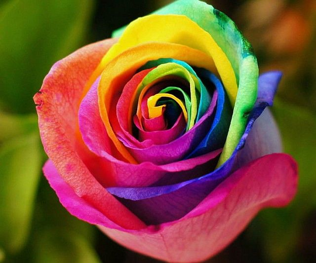 Rainbow colored roses rainbow colors rainbows and yards for What colors make rose
