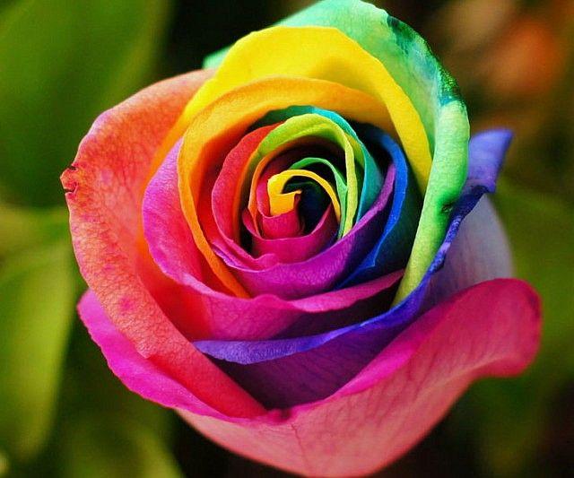 Rainbow Roses Rainbow Roses Virtual University Of Pakistan