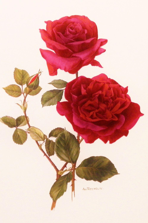 Botanical Print Hadley Vintage Rose Art Really Red Flower Wall