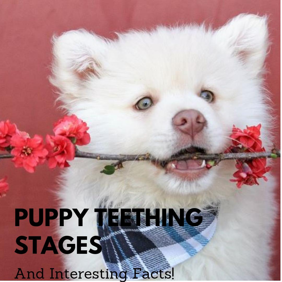 Understanding Puppy Teeth Stages Puppy teething, Puppies