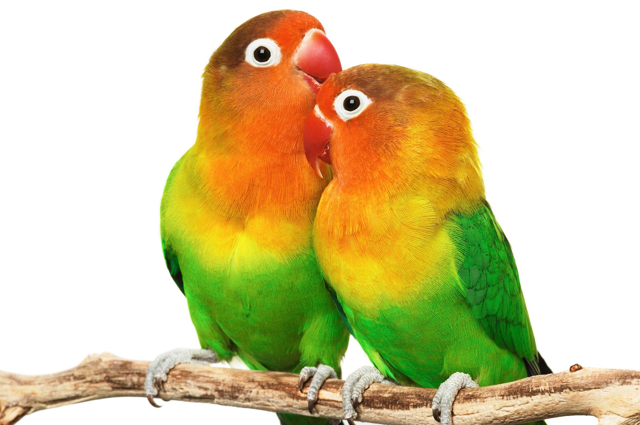 love birds hd images 3 #lovebirdshdimages #lovebirds #birds
