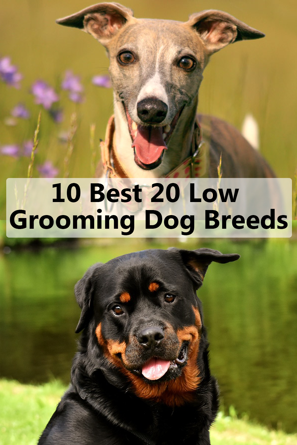 10 Best Low Grooming Dog Breeds Dog Breeds Short Haired Dogs Low Shedding Dog Breeds