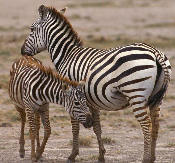 zebra clip art, jungle animal image, jungle animal photo ...