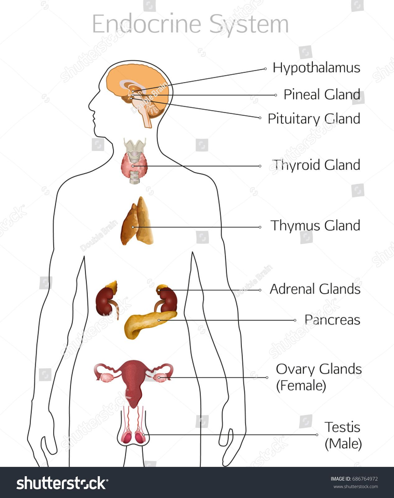 Internal Human Anatomy