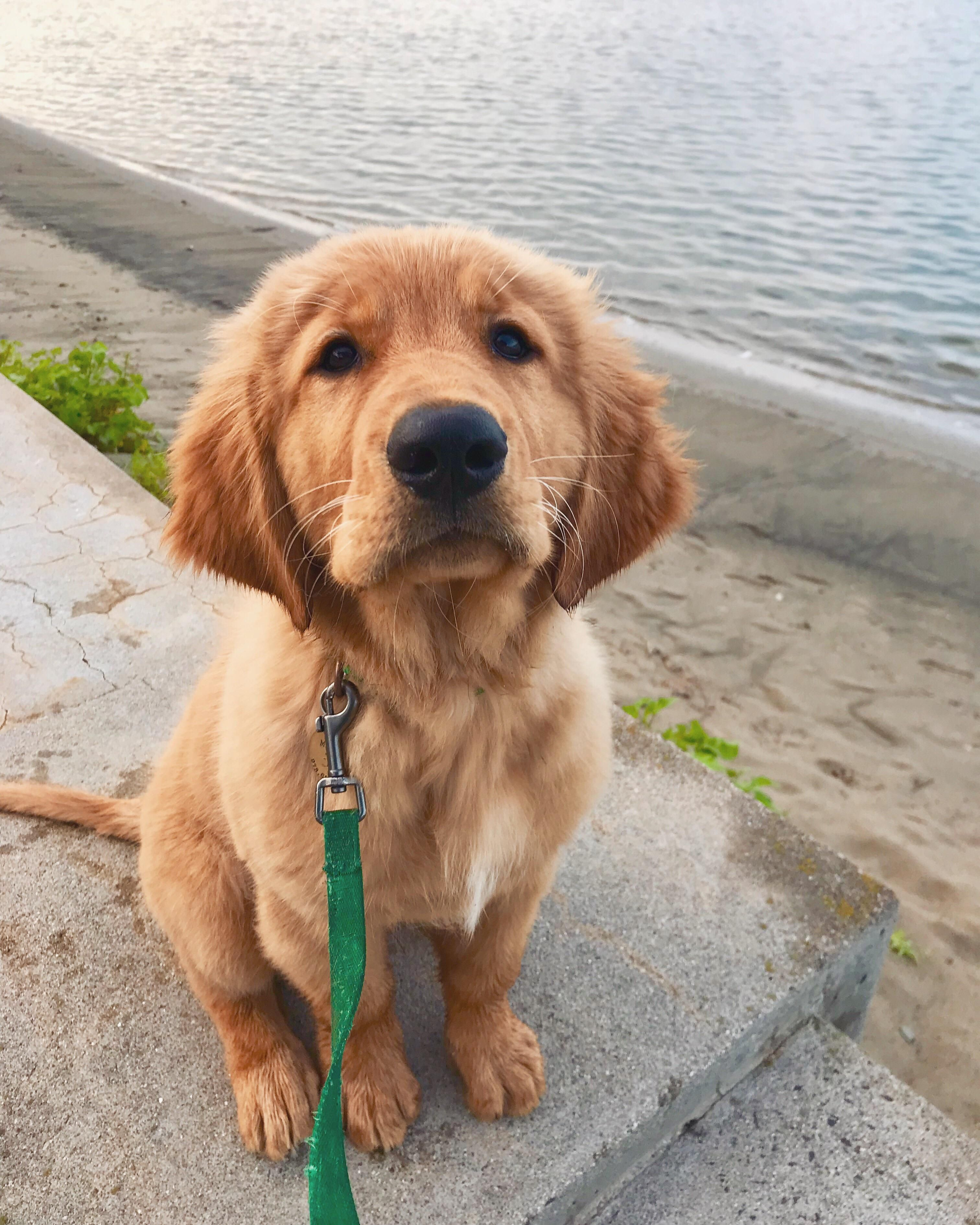 My Handsome Guy Cute Dogs And Puppies Dogs Golden Retriever
