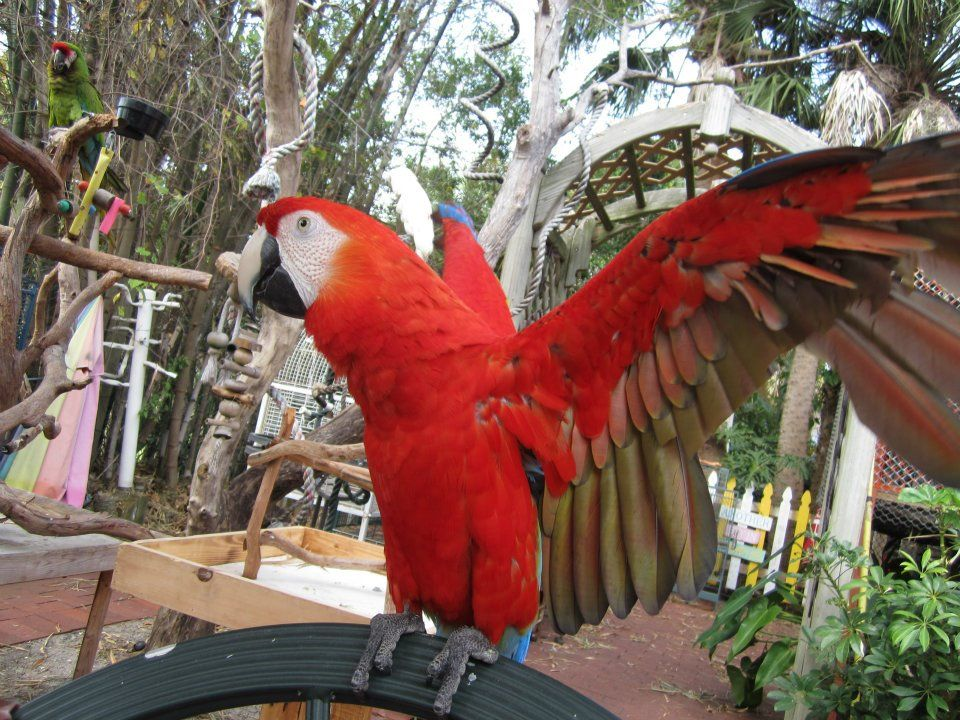 Macaws Melbourne Avian Rescue Sanctuary Macaw Avian Sanctuary