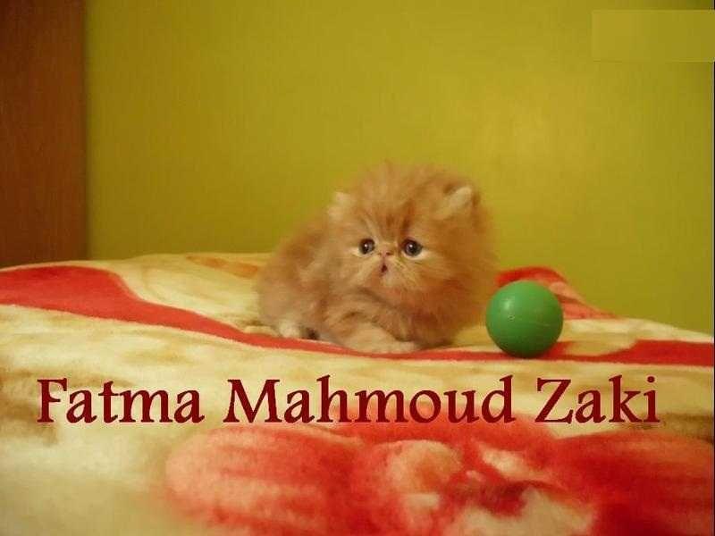 قطة بنوتة بيرشن ريد تابي زورار أصول هيمالايا Animals Cats Tri