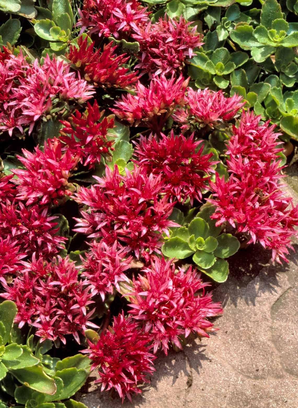 Red Creeping Sedum Gardeninggifts Pinterest Perennials