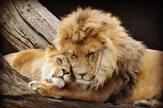 """shambooby: """" glamboyl: """"Lion Cuddle photo retouch by Lucien. """" """""""
