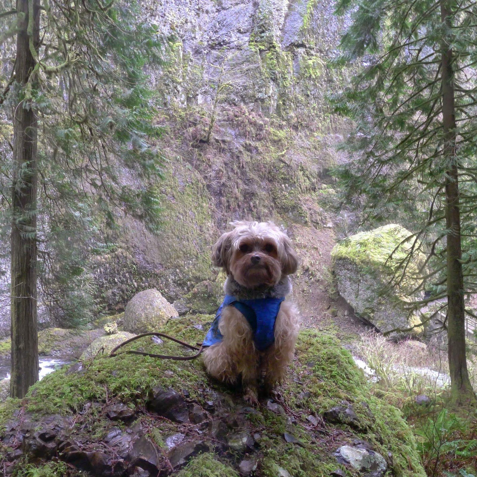 Hiking Wahcella Falls in Oregon ~ Tenacious Little Terrier