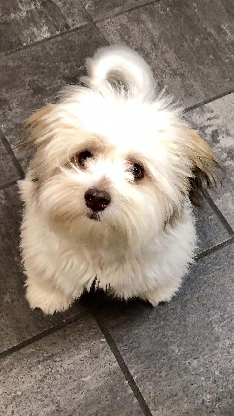 Havanese Intelligent And Funny Fluffy Dog Breeds Havanese Puppies Puppies